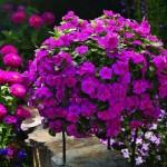Катарунтус — комнатное и лекарственное растение