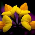 Лядвенец рогатый: как лекарственное растение