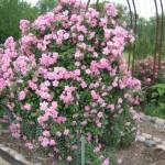 Розы: в какой период садить