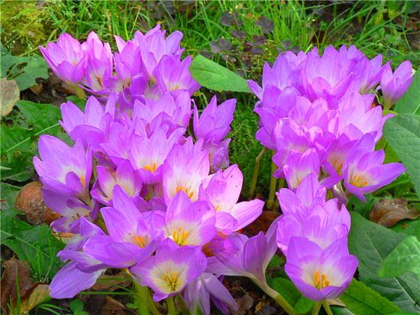 Безвременник уличные цветы