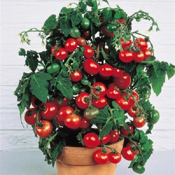 Томат выращивание в домашних условиях