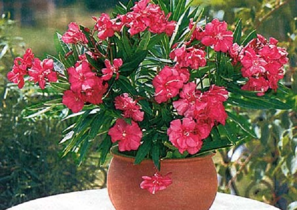 Комнатные цветы олеандр уход