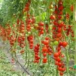 Когда пасынковать помидоры