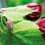 Абутилон: комнатное растение