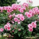 Розы: как и когда черенковать