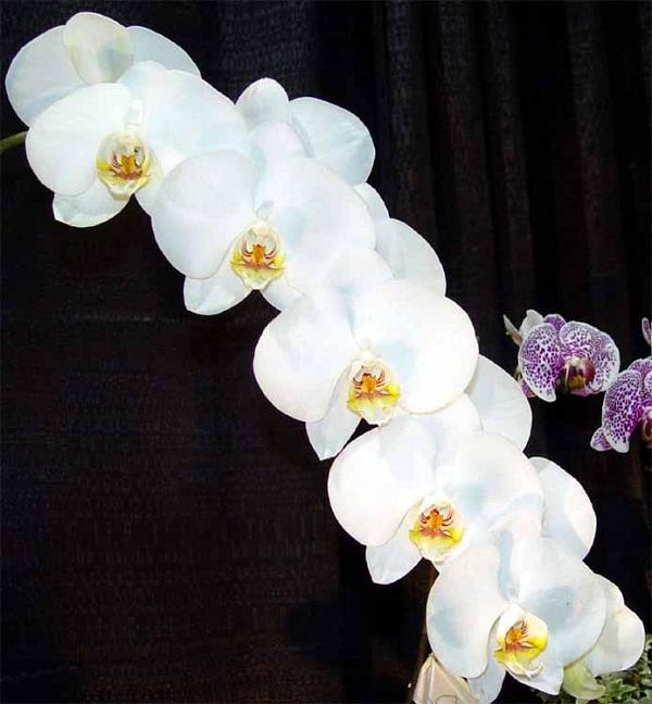Орхидея Зигопеталум в домашних условиях: уход и пересадка