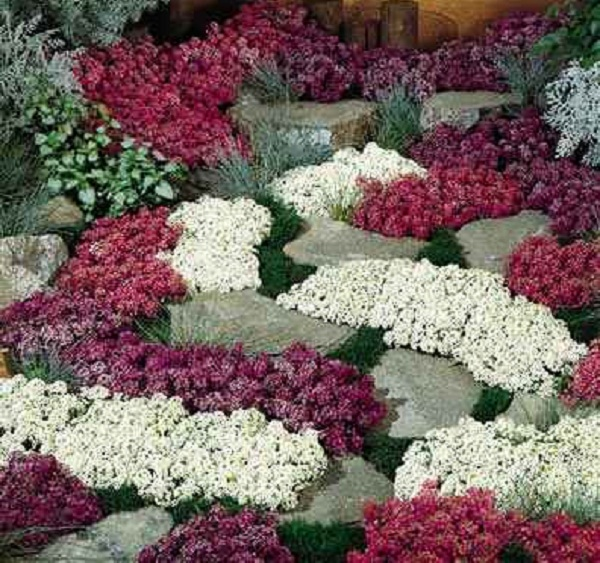 Почвопокровные цветы многолетние