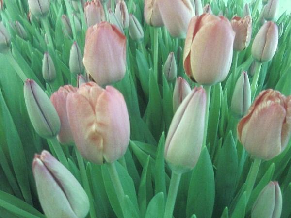 тюльпаны ны срез