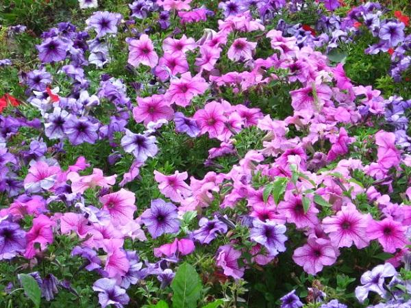Уличные цветы цветут и радуют целое