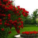 Розы: виды вредителей и методы борьбы