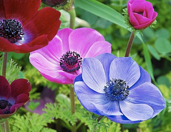 Анемоны ранние садовые цветы