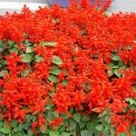 Сальвия: как правильно выращивать огненные цветы