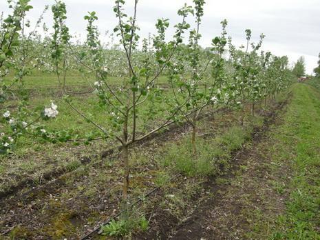 Посадка молодого сада яблонь
