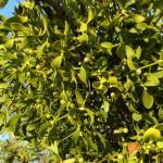 Омела — вечно зеленое растение-паразит, которой предоставляются сверхъестественные свойства