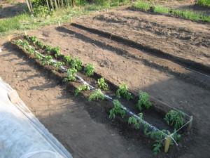 как высаживать рассаду в открытый грунт