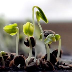 Как вырастить хорошую рассаду помидора и перца
