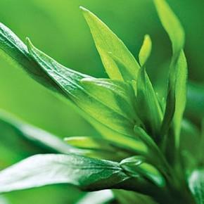 Эстрагон - как правильно выращивать и сеять