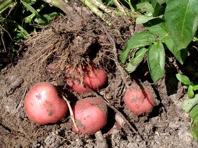 Как получить хороший урожая картофеля
