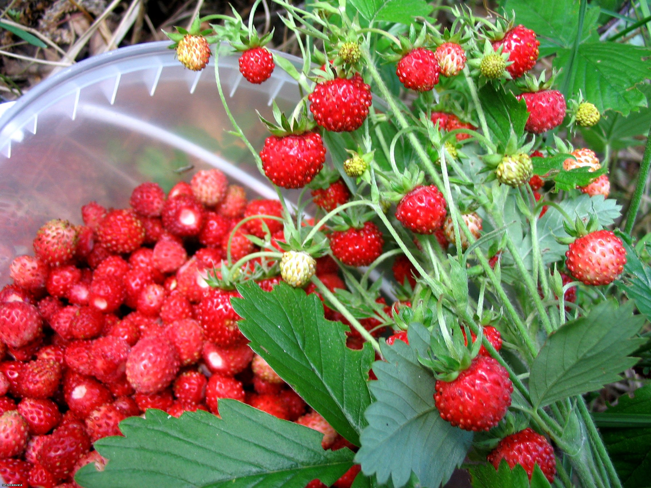 Не забывайте о землянике после сбора ягод