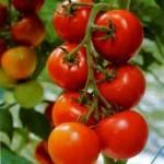 Когда садить помидоры и капусту на рассаду в 2013 году по лунному календарю