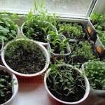 Успех выращивания рассады помидоров в 2013 году