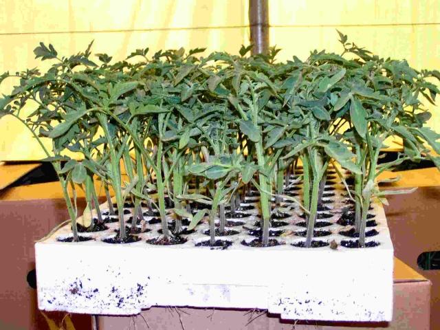 Выращиваем рассаду