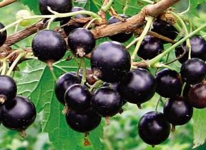 Смородина черная сибирская