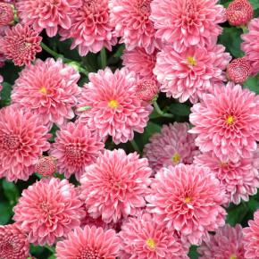 Хризантемы:история красивого цветка