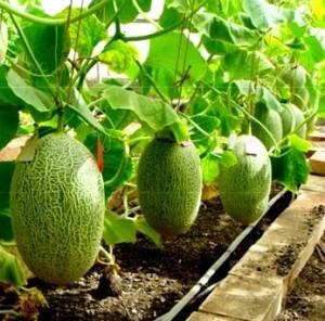 Технология выращивания дыни