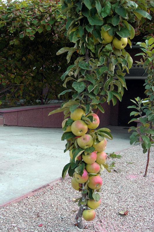 Колоновидные деревья сорта яблонь и