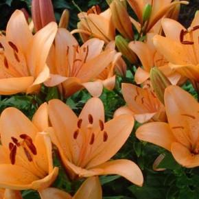 Как сажать лилии:лучшие сорта лилий