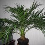 Как правильно ухаживать за пальмой:лучшая защита от паутинного клеща