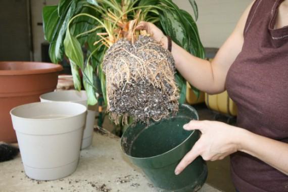 Пересадка комнатных растений 2013