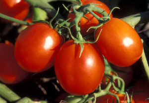 Когда садить томаты на рассаду