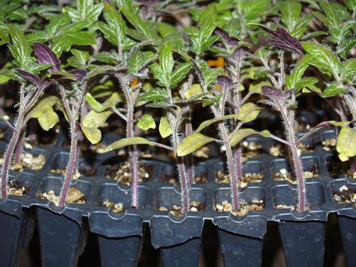 Как посадить рассады помидорами 845