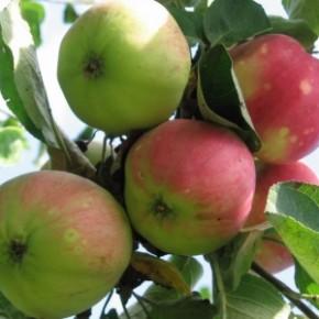 Лучшие сорта яблони в Украине:Флорина, Прима, Присцилла, Либерти, Прайм
