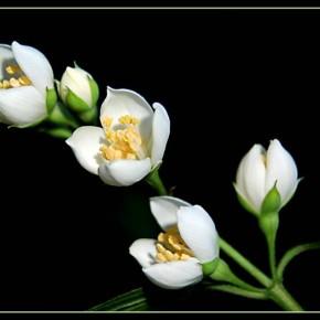 Жасмин-главный цветок на свадебных церемониях