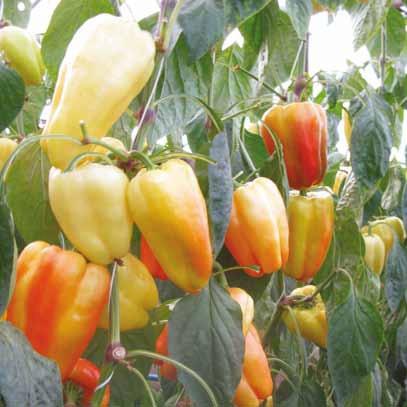 бизнес - план выращивания томатов: