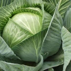 Урожайность капусты: биопрепараты помогают