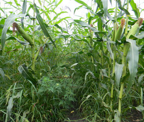 Защита посевов кукурузы от сорняков:особенности применения гербицидов