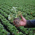 Когда и как высаживать  рассаду земляники садовой (клубники)