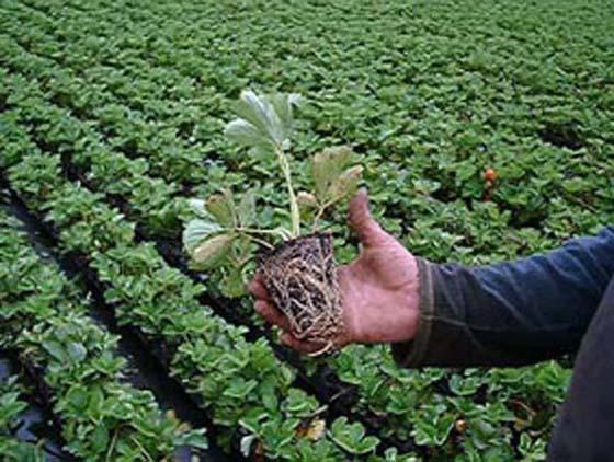 рассаду земляники садовой
