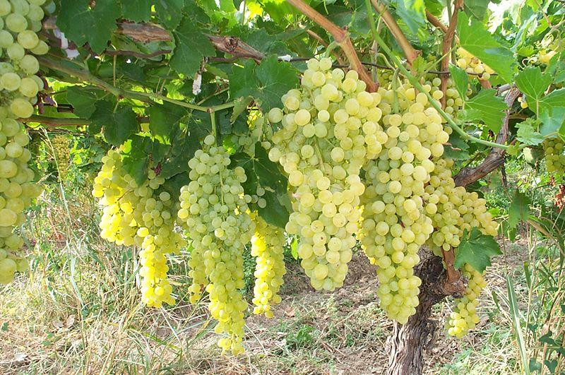 белый сорт винограда и вина выведенный во франции более 300 лет назад
