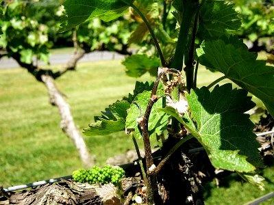 защита виноградной лозы