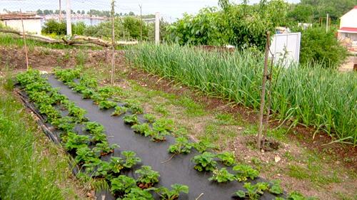 земляника садовая выращивание