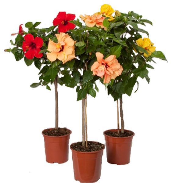 китайская роза дерево