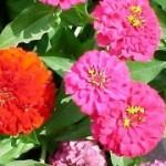 Яркие росцветки цинии