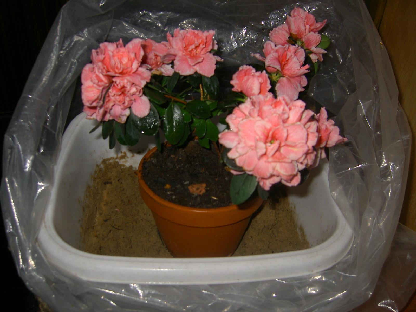 Чем и как поливать азалию в домашних условиях
