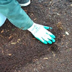 Лучшие предшественники для чеснока - озимая рожь, однолетние травы на зеленый корм