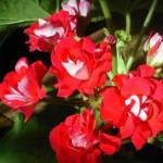 Герань кроваво-красная:описание,применение,лечебные свойства